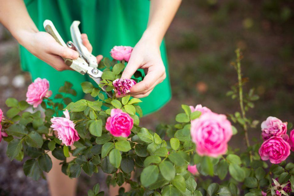 Krásne kríky ružových záhonov sú pýchou majiteľov tých najkrajších letných záhrad