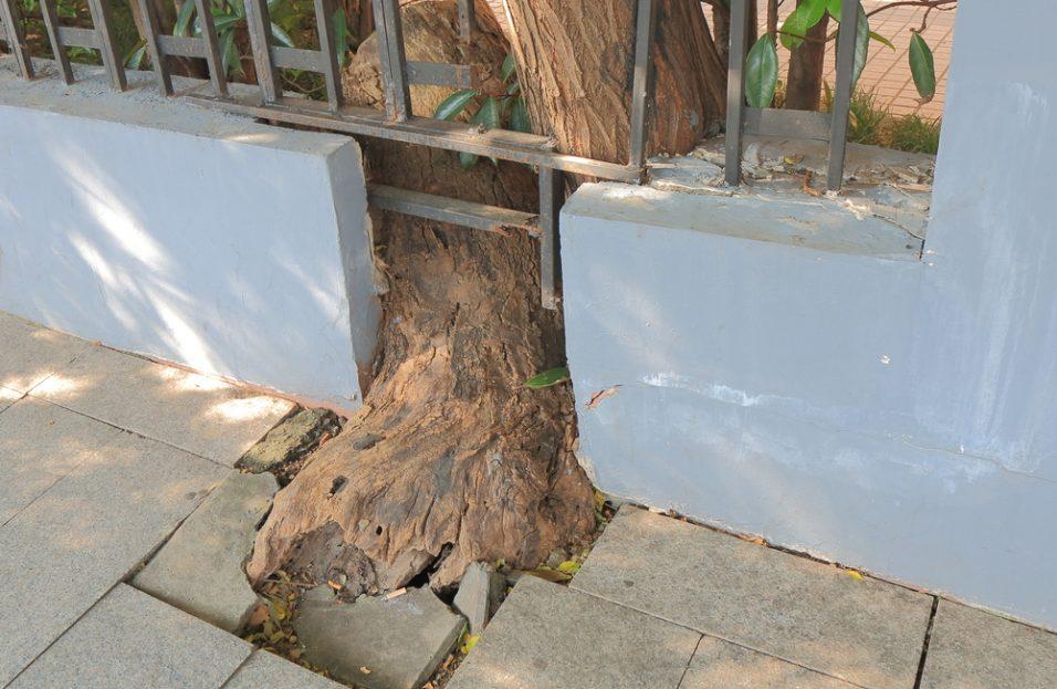 Silný koreňový systém stromov môže ohroziť integritu základov domu
